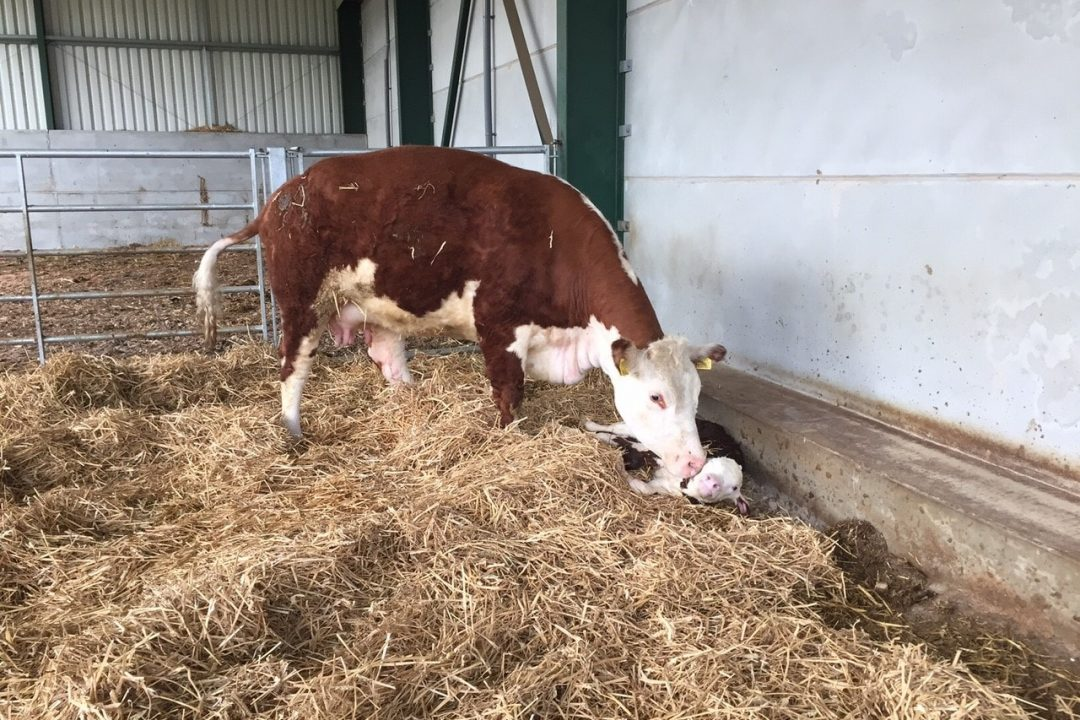 Calving Hickling Blossom 2nd just after being born May 2016
