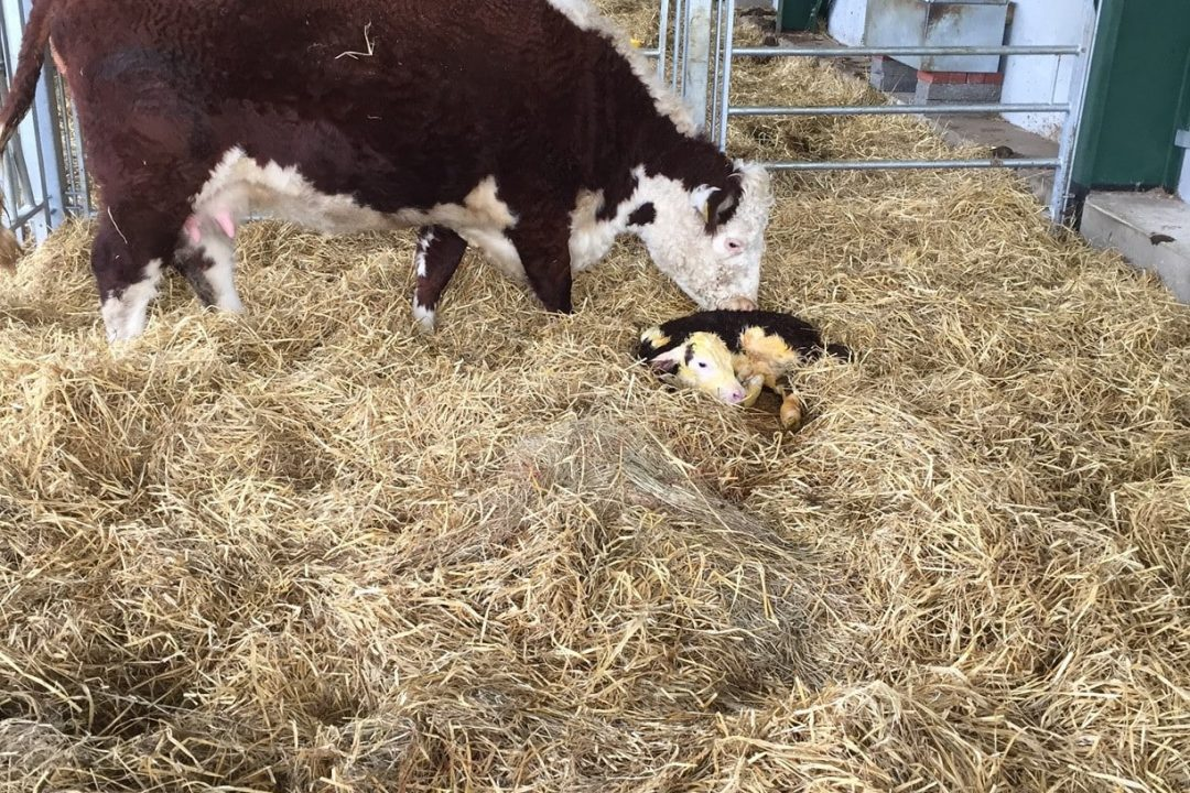Calving Hickling Nightwatch just been born Feb 2016