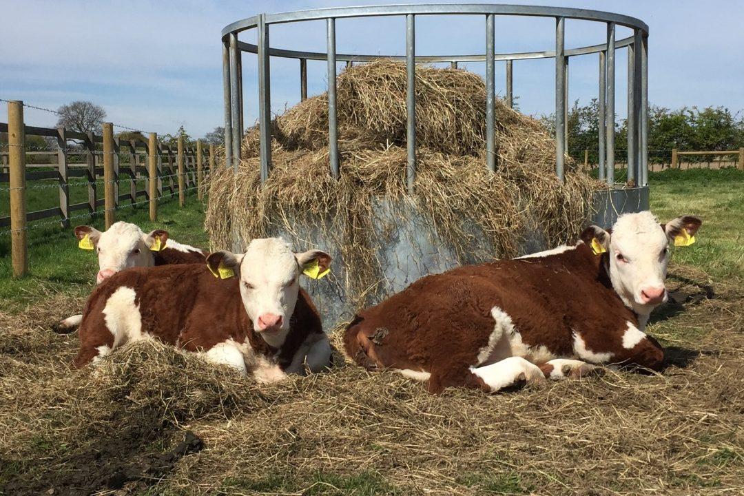 3 Bull Calves Hickling Norman Hickling Nova & Hickling Nightwatch enjoying the Spring Sun 2016