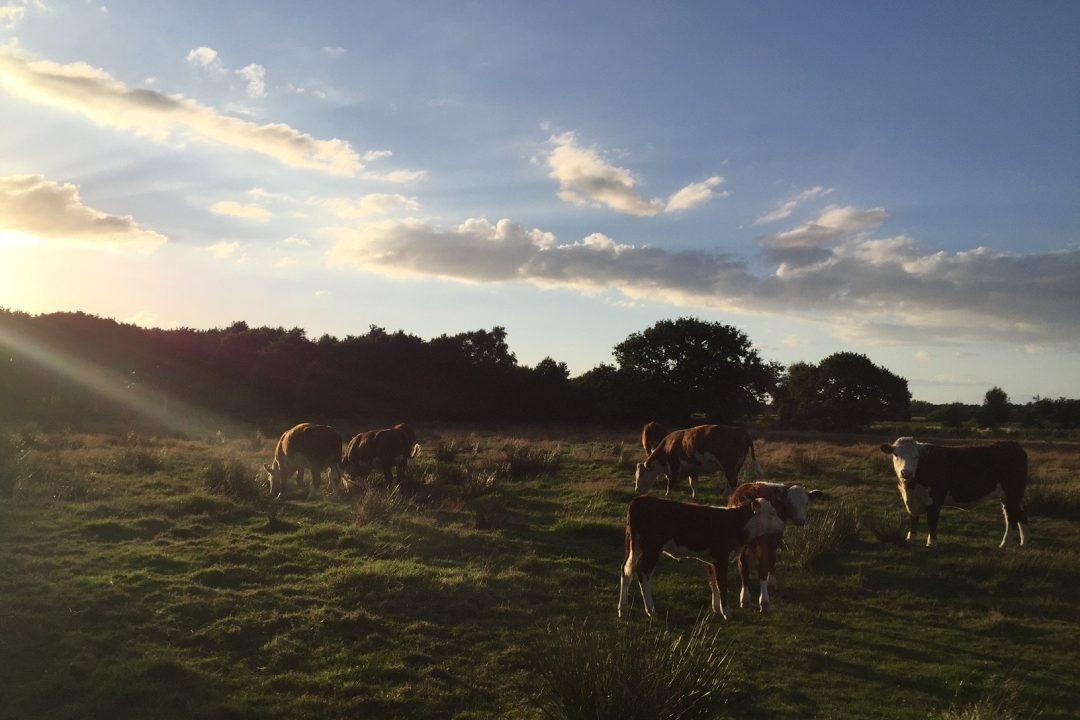Cows & Heifers at Marsh Spring 2016