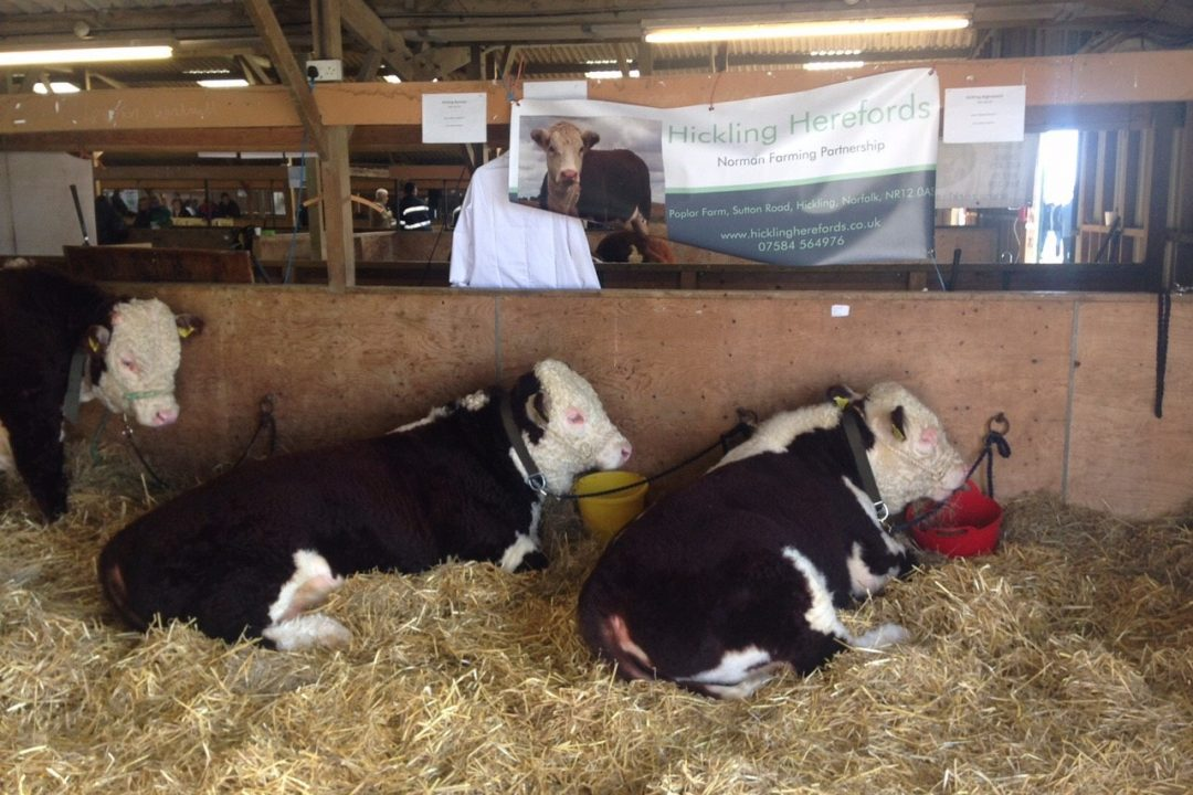 Shows Hickling Norman & Hickling Nightwatch at the MEAHBA Autumn Calf Show 2016